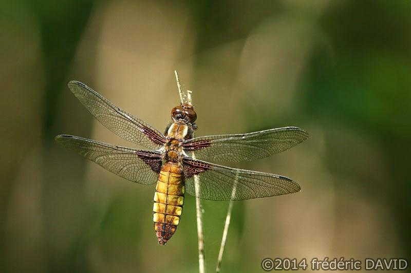 animaux insecte libellule déprimée macro forêt Rougeau Seine-et-Marne