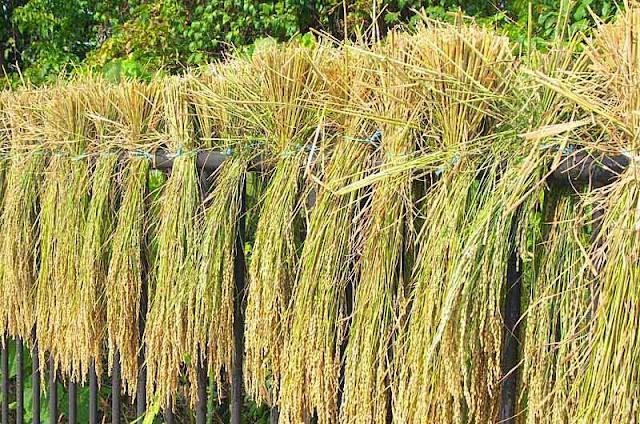 rice, straw, fence, HWY 28,Igei, Okinawa