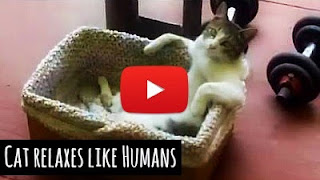 Watch this Adorable white cat chills out in his basket as it relaxes just like a human while listening to some mellow music in the background via geniushowto.blogspot.com cute pet videos