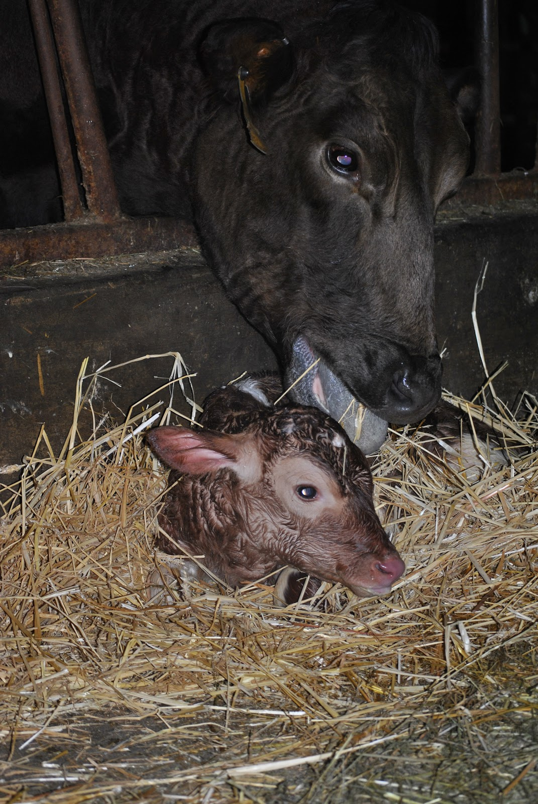 Little Farmer Names - Guernsey Dairy Mama