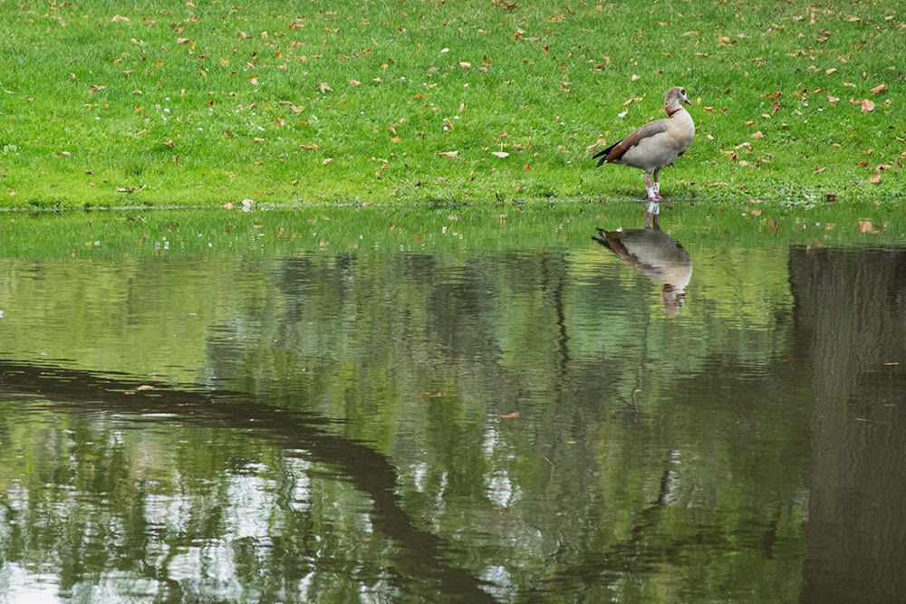 goose and its reflection