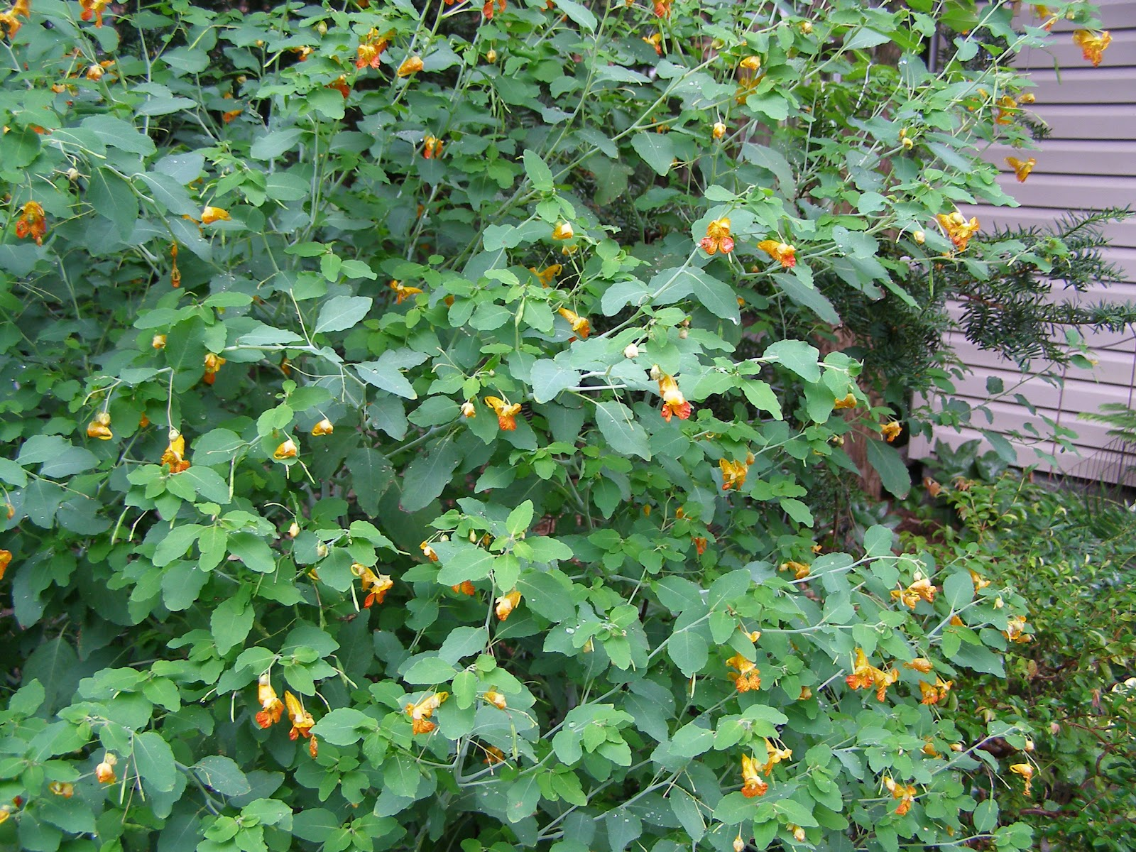 Weed Growing In My Backyard : allow several Jewel Weed plants to grow in my backyard each summer