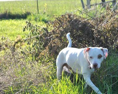 Ziggy walking through overgrown hedges