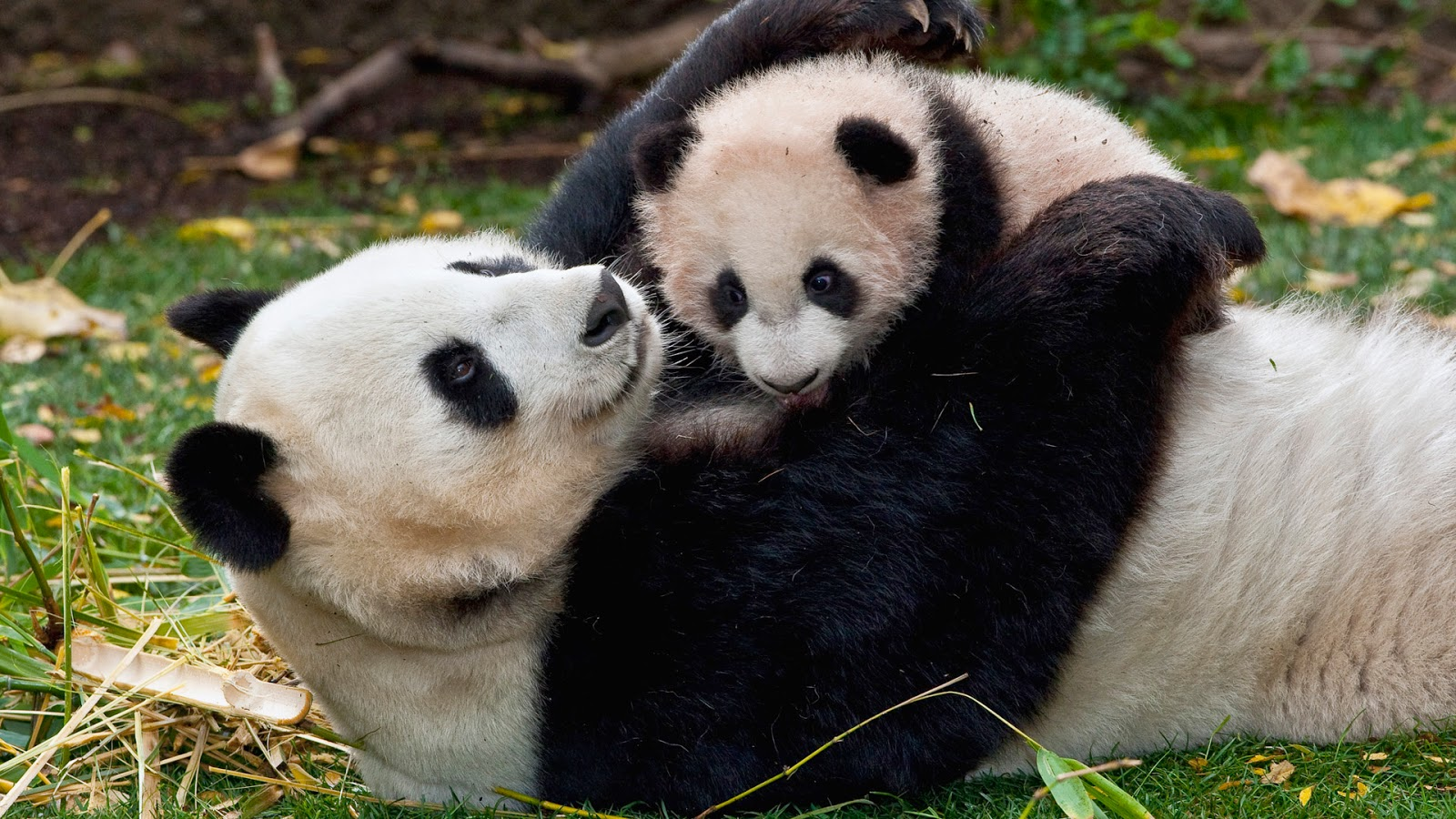 Panda mom puts to sleep son
