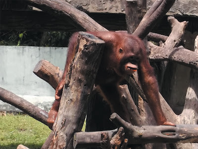 foto orang utan di kebun binatang gembiraloka