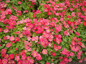 Renee's Garden Cherries Jubilee Nasturtiums
