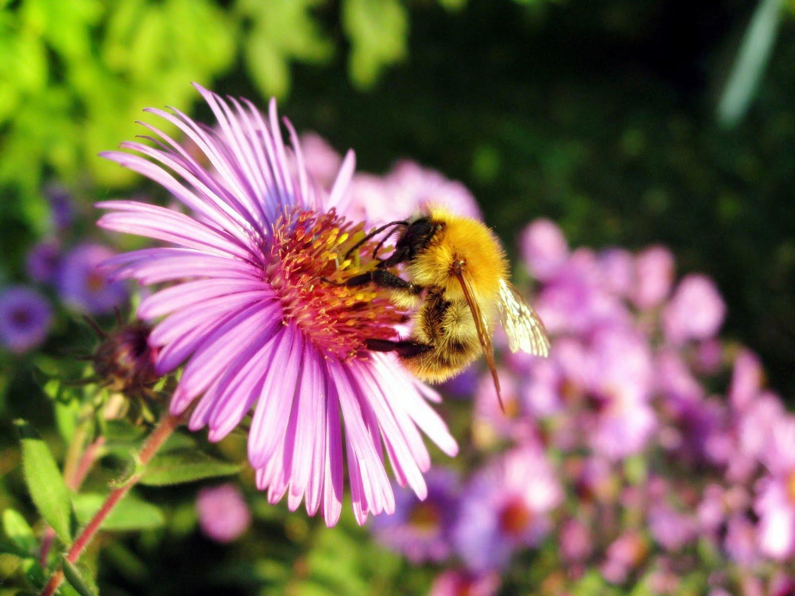 http://2.bp.blogspot.com/-VlAKe795zME/TmpIDtPP4AI/AAAAAAAAAA4/I2-qOdlAbaM/s1600/bee-wallpapers-16-710187.jpg