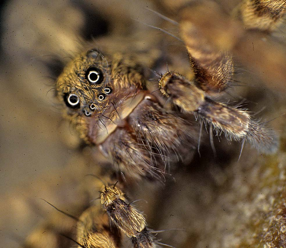 an analysis of the spiders fishing technique for water spiders What do they eat orkin can help you with cellar spiders in the home cellar spider control how do you get rid of them what do they look like.