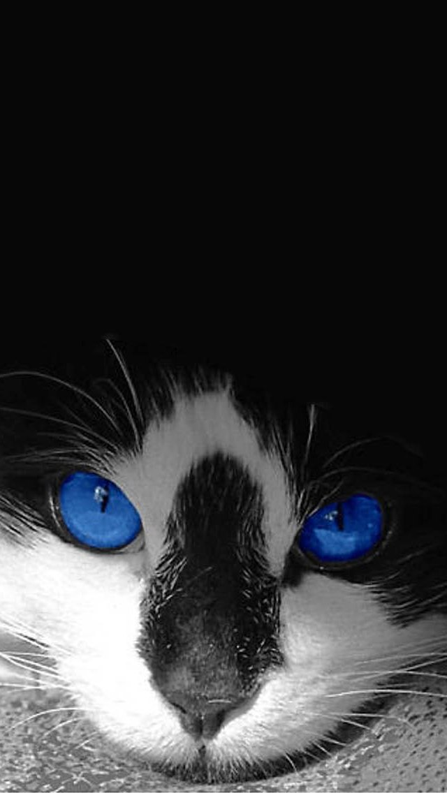 hd cat wallpaper for iphone 5