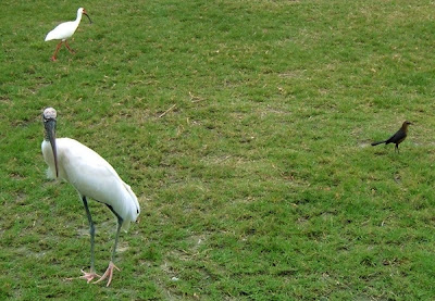 birds at Long point park in melbourne beach florida by http://DearMissMermaid.com copyright by Dear Miss Mermaid