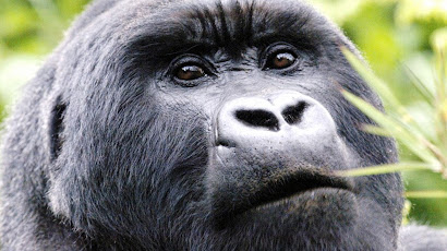 Silverback mountain gorilla in Sabinyo group