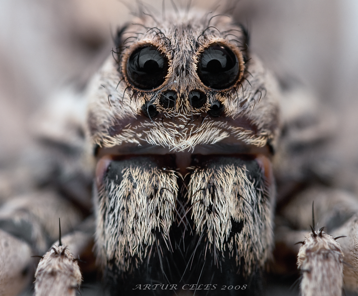 Tarantula Wallpapers Fun Animals Wiki Videos Pictures