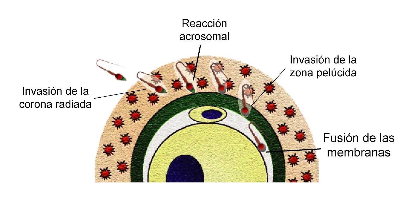 Para la fecundación del óvulo por el espermatozoide éste tiene que invadir la corona radiada y luego la zona pelúcida