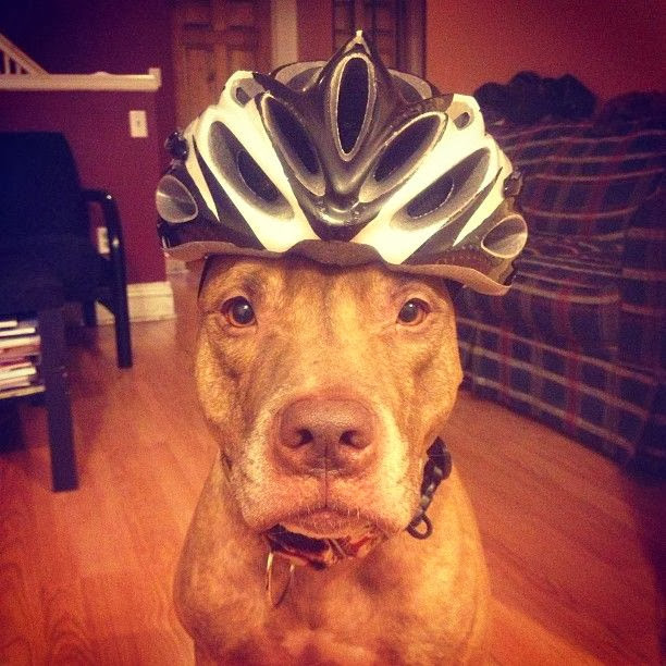 Scout the pit bull balances stuff on his head (30 pics), stuff on Scout's head, sout wear bike helmet