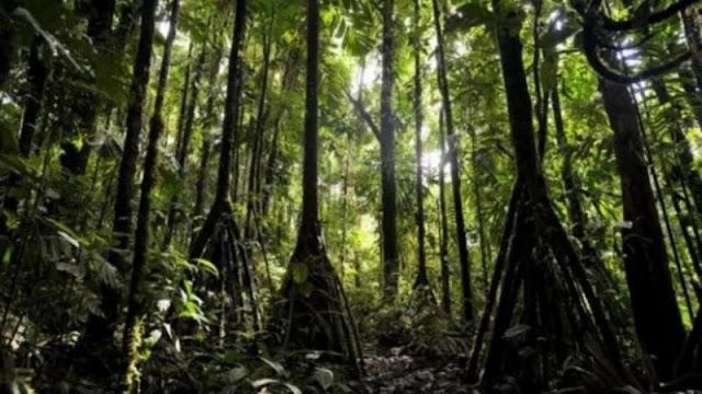 Socratea exorrhiza, Pohon yang bisa berjalan