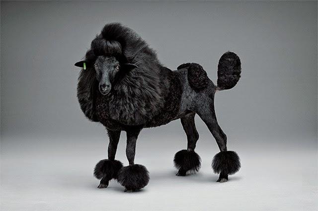 mouton-tondu-caniche