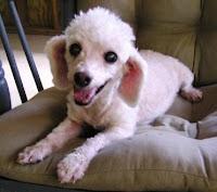 Lavergne, our favorite senior poodle lap dog