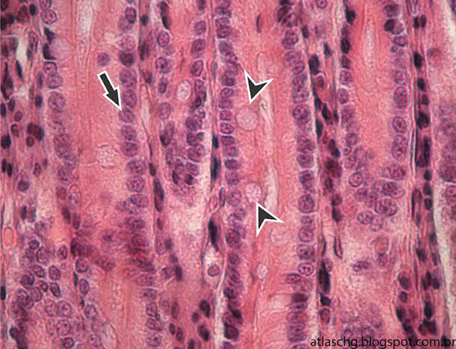 Tecido epitelial de revestimento simples prismático com borda estriada e células caliciformes