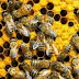 Fountain of youth in bees, acting younger