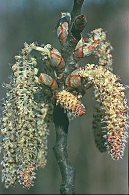 trees in america alamo temblon grande Populus grandidentata