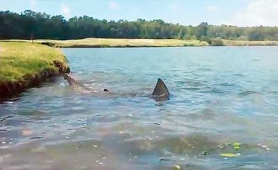 Bahaya Ikan Jerung Dalam Tasik
