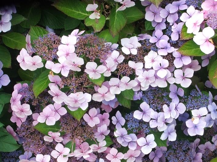 Flores y rboles hortensia - Variedades de hortensias ...