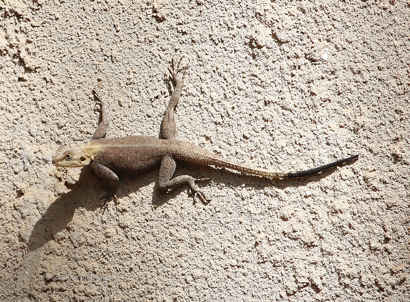 Agama a. agama in Gambia