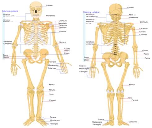 Esqueletos por dentro... caparazones por fuera...: EL ESQUELETITO!! :)