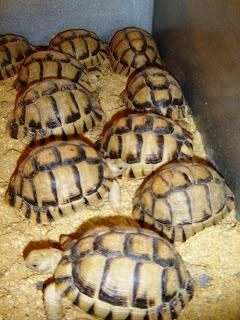 egyptian tortoise