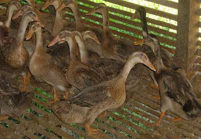 jenis bebek dan itik mojosari lokal images | ternak kenari, ternak kambing, ternak bebek, ternak lele, budidaya ikan lele, ikan hias, gambar ikan | UsahaTernak