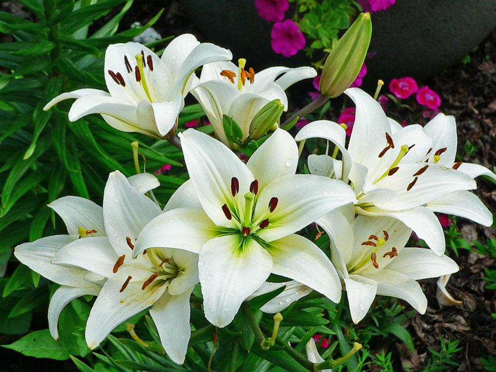 Beautiful And Graceful Lily Beautyfull Flower Wallpaper
