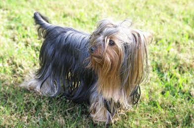 17+ Jenis anjing yorkshire terrier terbaru