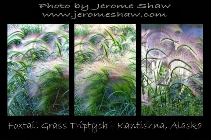 Foxtail Grass Triptych Kantishna Alaska near Denali National Park Copyright Jerome Shaw  1985 / www.JeromeShaw.com