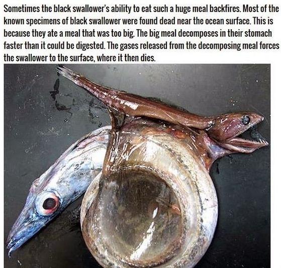 Ikan Kecil Makan Ikan Besar
