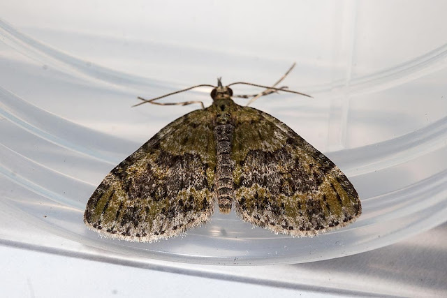Yellow-Barred Brindle