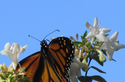 Annieinaustin, monarch and abelia
