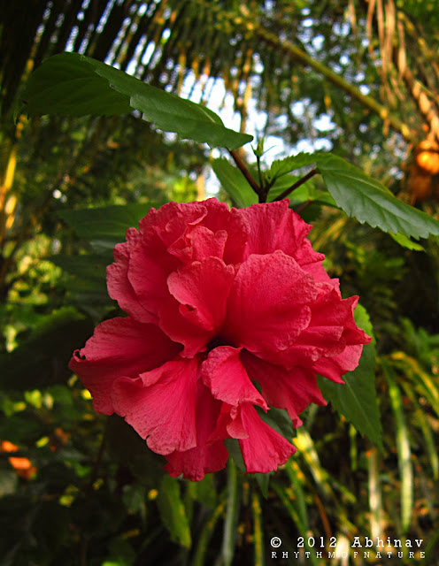Double Layered Red Hibiscus