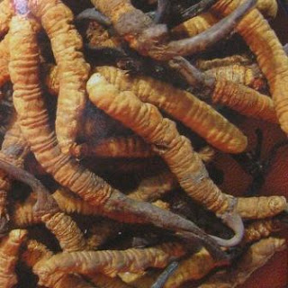 In the past, the cordyceps sinensis as mushrooms that was expensive and rare.