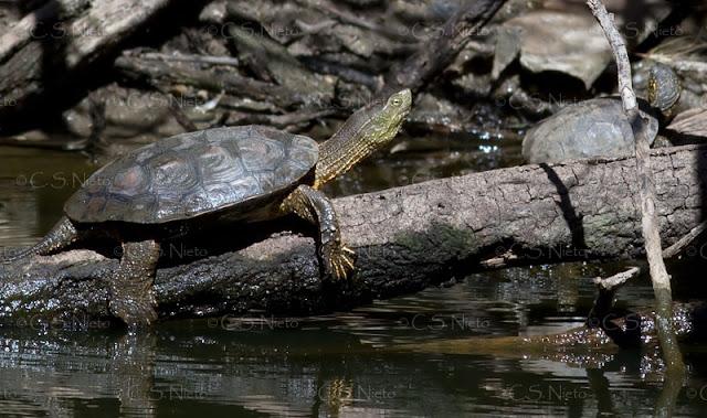 Galápago leproso (Mauremys leprosa) en un afluente del Tiétar