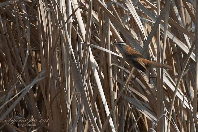 Fülemülesitke (Acrocephalus melanopogon)