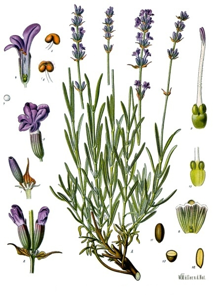 Lavandula Angustifolia, Lawenda Wąskolistana, Lawęda Lekarska, Lawęda Wonna źródło: http://pl.wikipedia.org