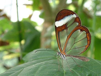 mariposa transparente