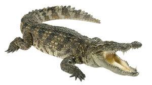 perbedaan-buaya-dan-aligator.jpg