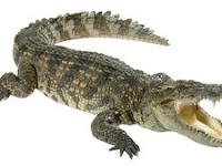 Buaya vs Aligator : Perbedaan Lengkap Buaya dan Aligator!