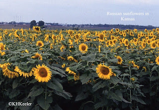Russian sunflowers