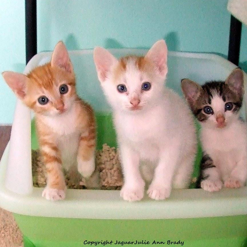 three little kittens in the Tidy Cats Breeze litter box