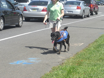 Picture of Rudy in coat/harness doing a forward walk beside the traffic with another puppy raiser (we all did a 'quick