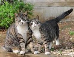 2 Langkah dalam menjodohkan kucing