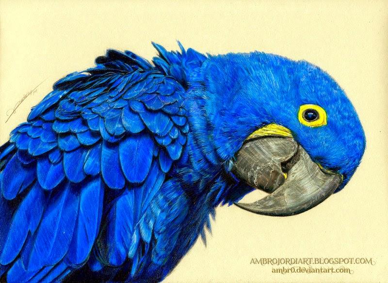 Blue Macaw Drawing Hyacinth Macaw - Drawing