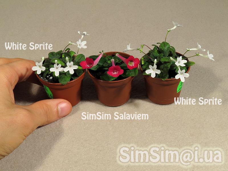 """micro mini Sinningia """"SimSim Salaviem"""" vs """"White Sprite"""""""